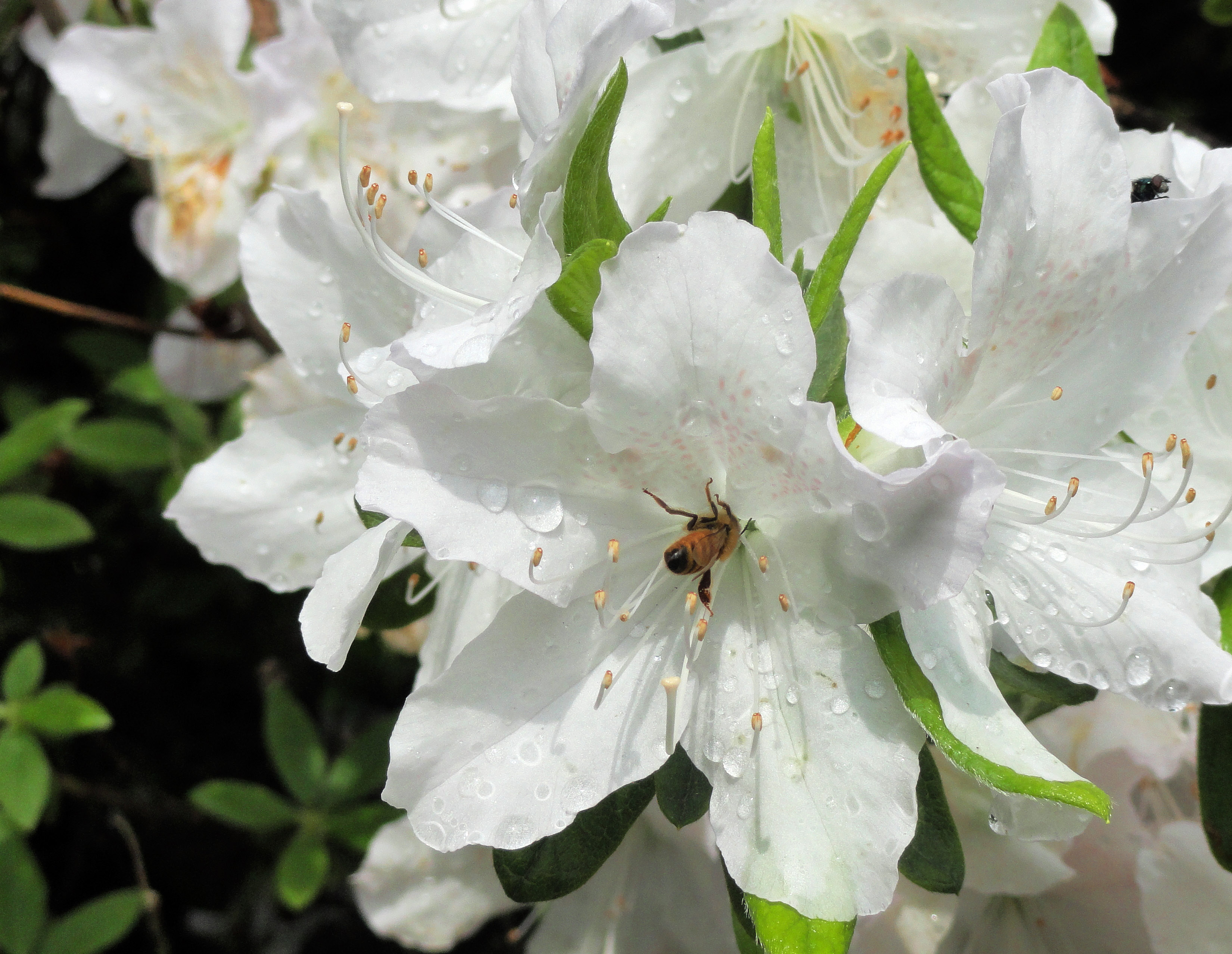 Honey Bee on Azalea