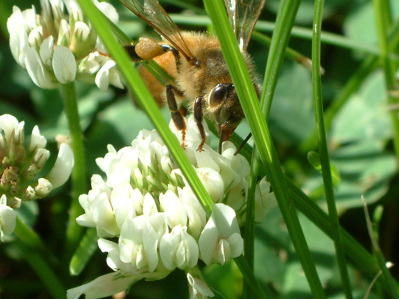 Kaitlin's bee on clover