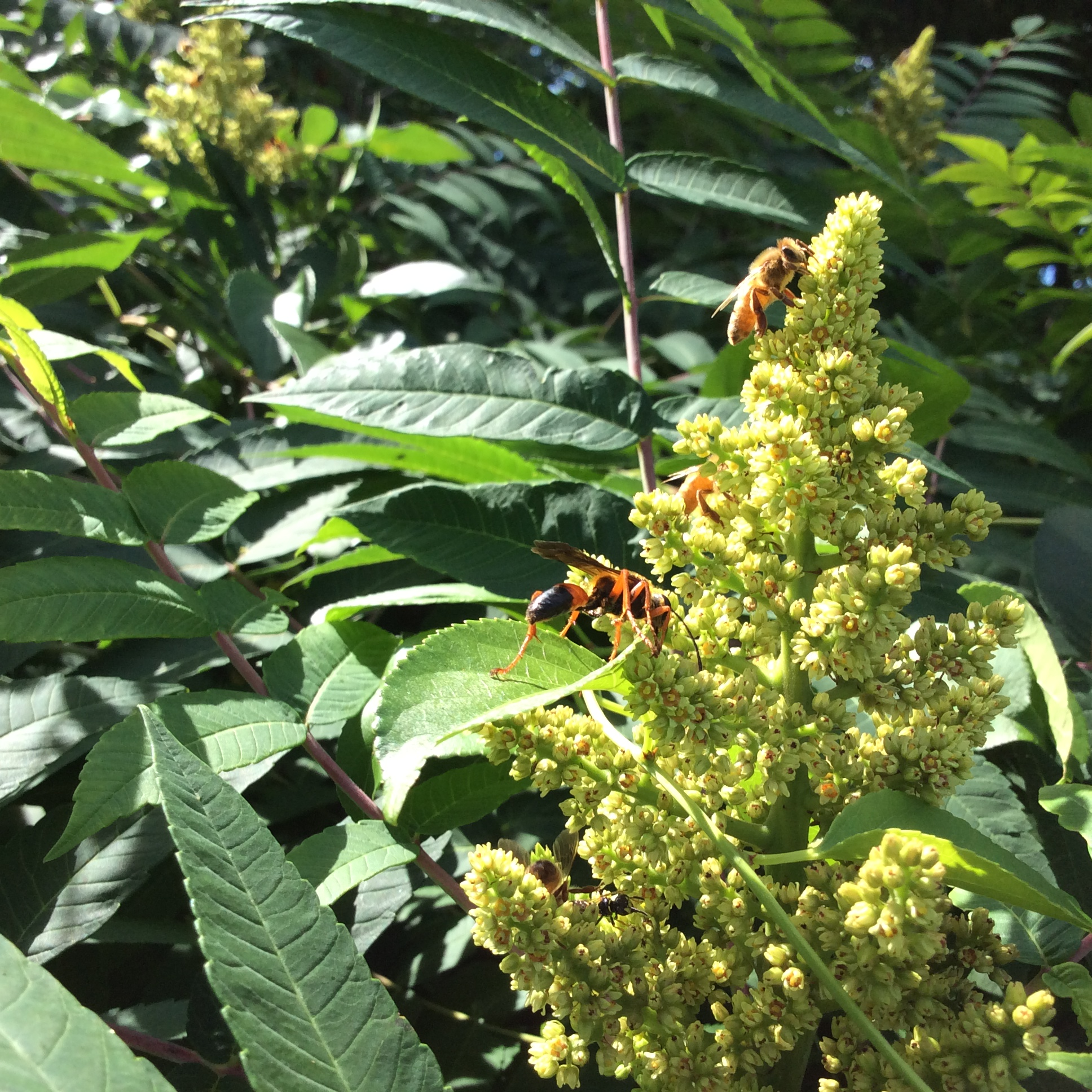 Bee and wasp on Sumac