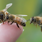 Bees on Finger